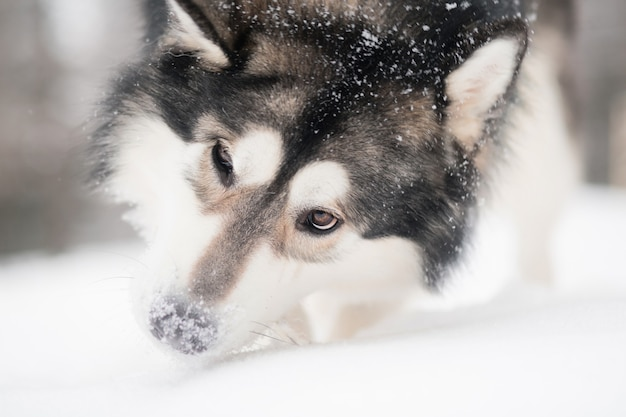 Young alaskan malamute playing with snow. snowy nose. dog winter