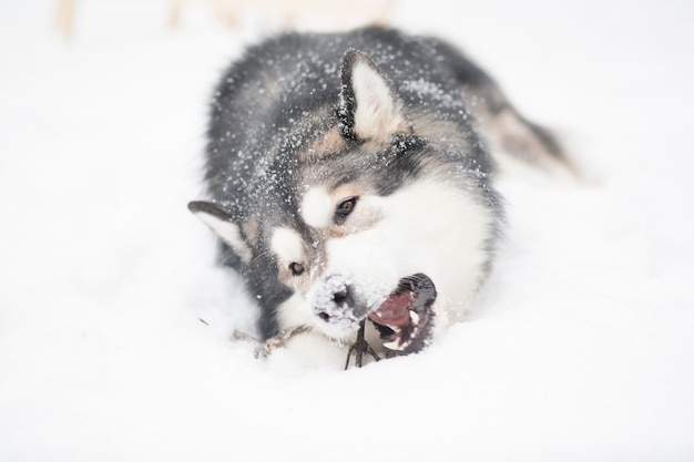 Young alaskan malamute playing with stick and lying in snow. snowy nose. dog winter