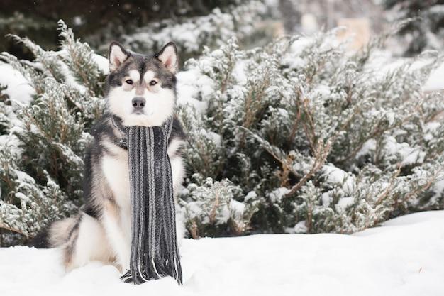 Молодой аляскинский маламут сидит в сером шарфе в снегу. собака зимой.