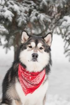 빨간색 스카프에 앉아 젊은 알래스카 malamute. 개 겨울 숲. 고품질 사진