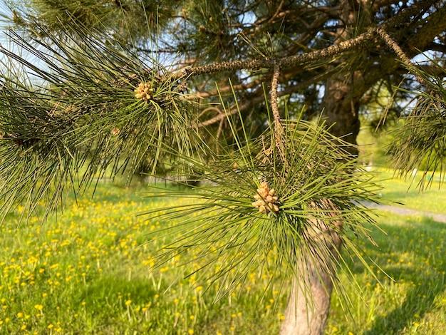 Молодые сосны алеппские pinus halepensis растут в парке