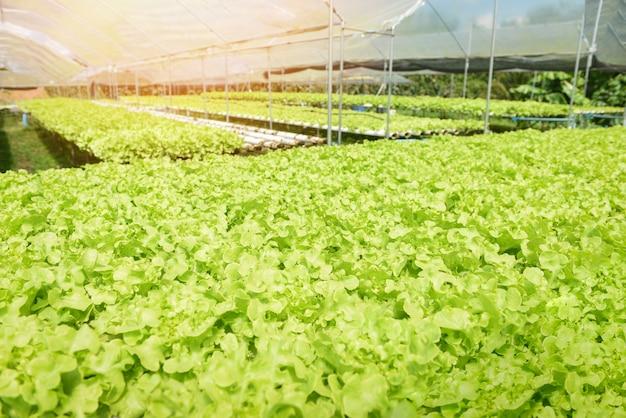 젊고 신선한 양상추 샐러드 녹색 오크 토양 정원 야외 건강 식품, 그린 하우스 야채 수경 시스템에 대 한 유기없이 물에 정원 수경 농장 식물 성장