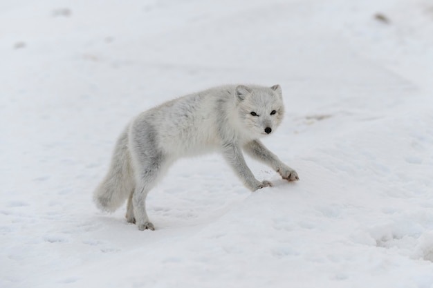冬のツンドラの若いホッキョクギツネ。灰色のホッキョクギツネの子犬。