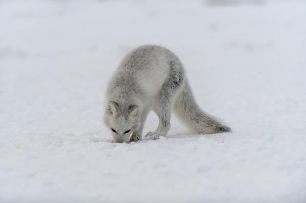 Young arctic fox in winter tundra. grey arctic fox puppy.
