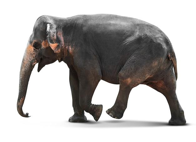 孤立した若いアジアゾウ
