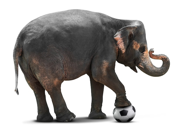 Young asian elephant playing soccer ball