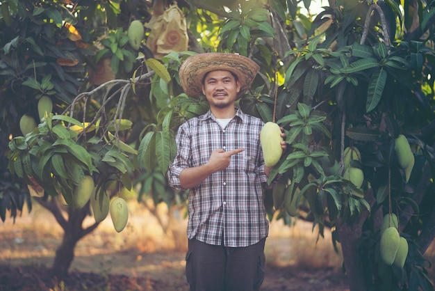 Young asian farmer picking and show mango fruit in organic farm, thailand