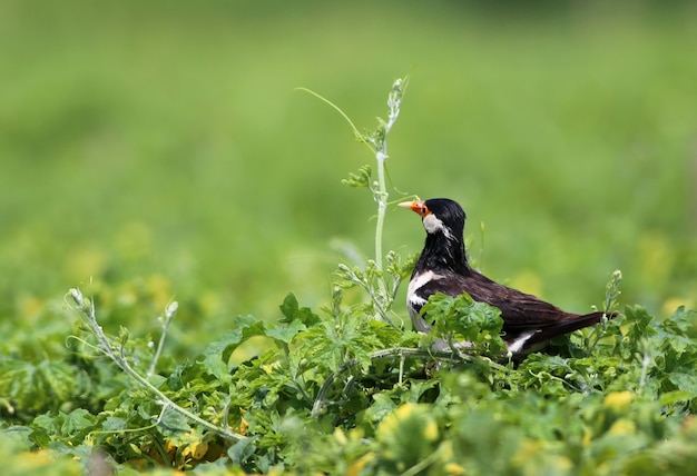 Young asian pied starling on green plants
