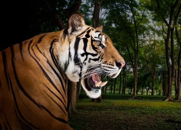 Молодой азиатский сибирский тигр в дикой природе