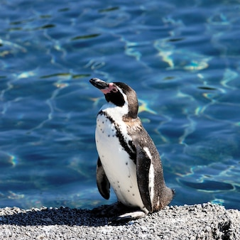 Young auk in a zoo in summer