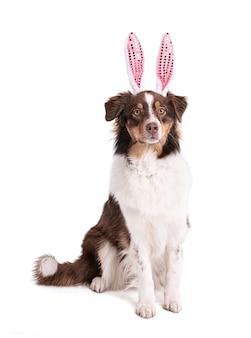 화이트에 핑크 토끼 귀를 가진 영 austalian 몰이
