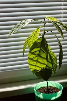 Young avocado tree in a green pot on a window with shutters