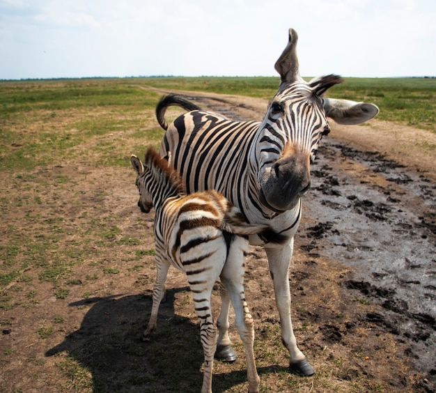 Young baby zebra and mother family standing together zebra turns its head in a funny pose