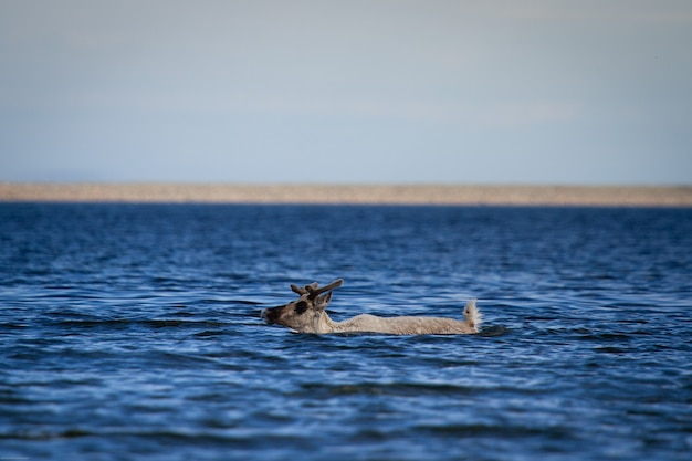 Young barren-ground caribou, rangifer tarandus groenlandicus, swimming through water