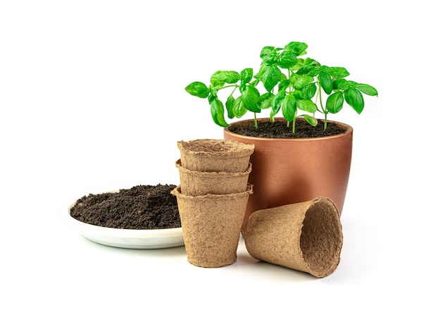 Young basil sprouts in a pot peat pots and soil isolated on a white desk