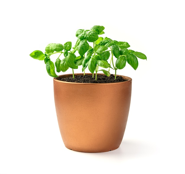 Young basil sprouts. a potted plant. side view. the concept of cultivation.