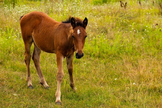 A young bay foal will sit in the field.