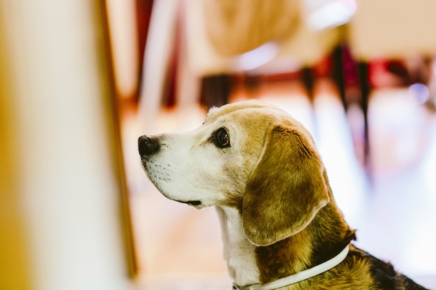 Young beagle dog rested inside a house