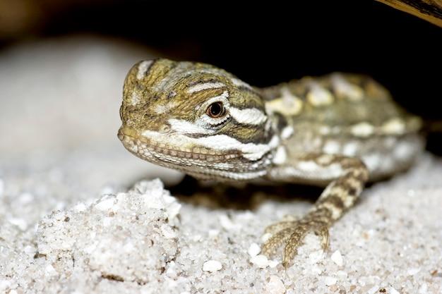Молодой бородатый дракон ящерица крупным планом