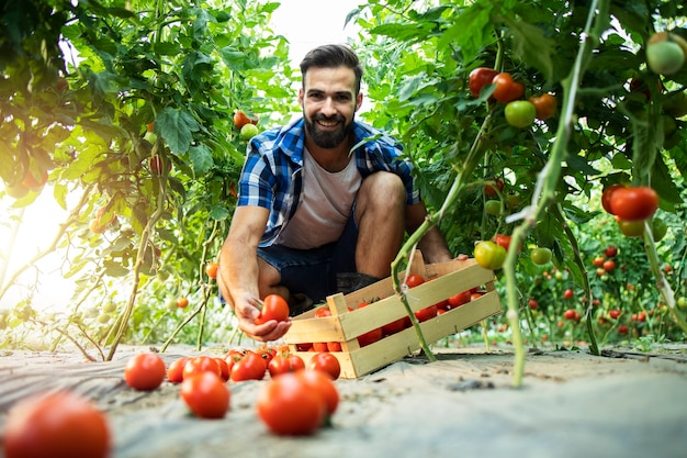 Young bearded farmer with crate basket picking fresh organic tomato vegetables in hothouse.