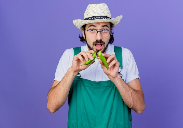 Молодой бородатый садовник в комбинезоне и шляпе показывает зеленый острый перец чили, ломающий его, стоя у синей стены