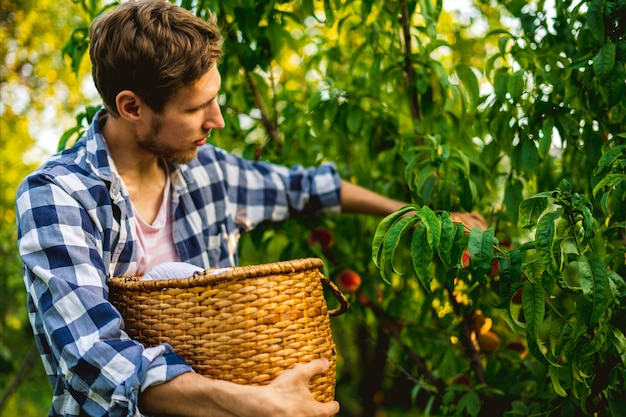 Young bearded man picks peaches from tree into basket with lighten sun through the tree