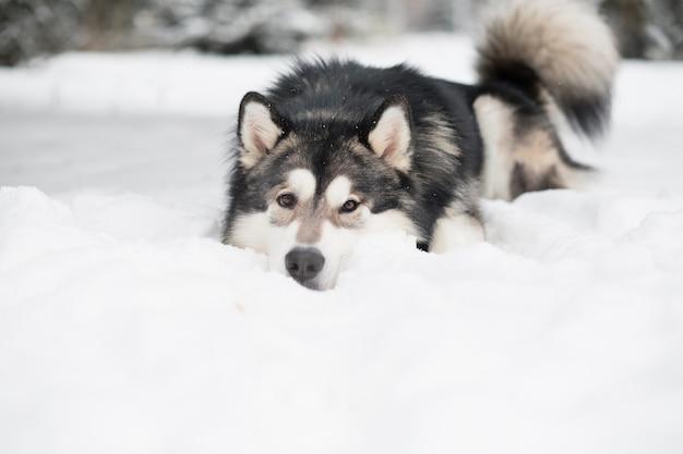 Молодой красивый аляскинский маламут с карими глазами, лежащий в снегу. собака зимой. фото высокого качества