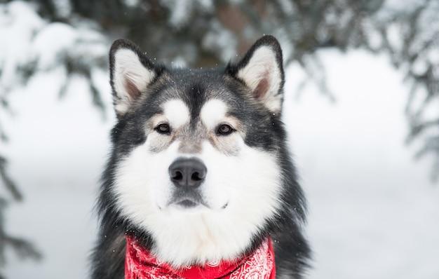Лицо молодой красивой собаки аляскинского маламута в красном шарфе. зимний лес.