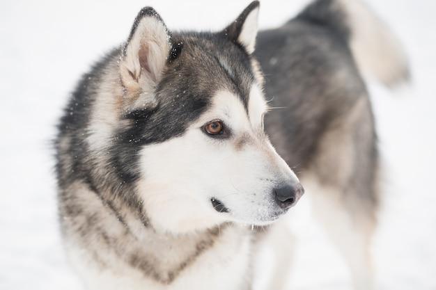 雪の中で茶色の目を持つ若い美しいアラスカンマラミュート犬