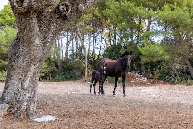 牧草地で彼のお母さんと若い美しい子馬(メノーキン馬)。メノルカ島(バレアレス諸島)、スペイン
