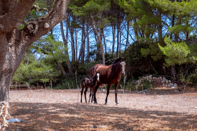 Young beautiful foal with his mom in the pasture. menorca, spain
