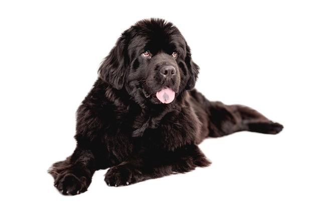 Молодая красивая собака ньюфаундленда лежит на белом фоне