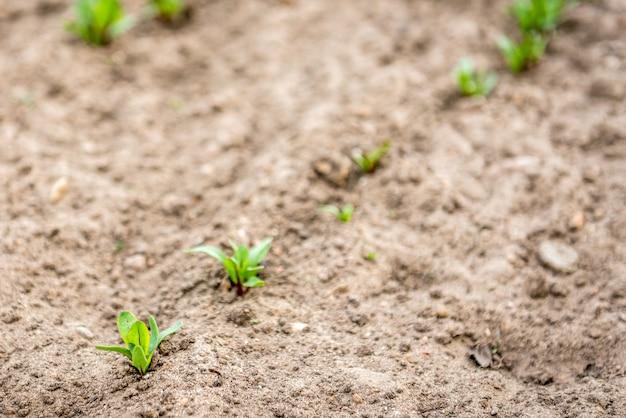 春の庭で育つ若いビート