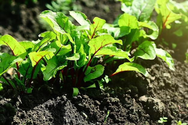 若いビートは、野菜畑の日光の下で庭のベッドで育ちます