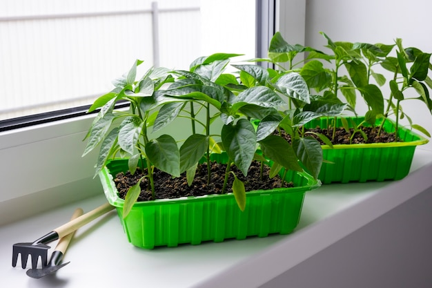 원예 도구와 창틀에 녹색 용기에 젊은 피망 묘목. 집에서 씨앗에서 자라는 야채 피망 새싹. 국내 유기농.