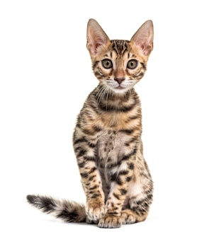 Young bengal cat staring, isolated on white