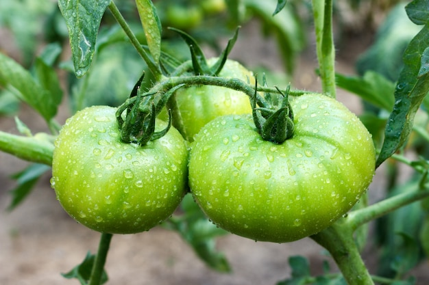 Young big green tomatoes after rain growing in garden