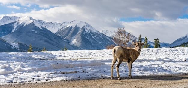 雪に覆われた森のバンフ国立公園カナダに立っている若いオオツノヒツジの雌羊