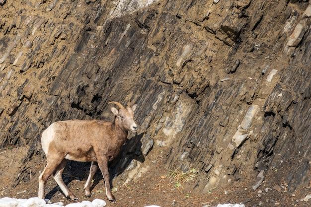 10月カナダの岩だらけの丘の中腹のバンフ国立公園に立っている若いオオツノヒツジの雌羊
