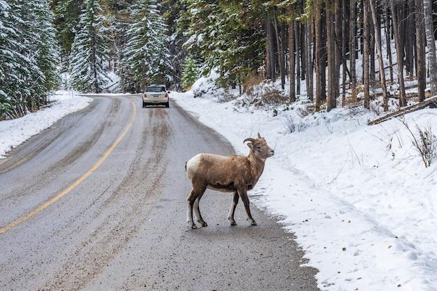 雪山道バンフ国立公園アルバータ州の若いオオツノヒツジ