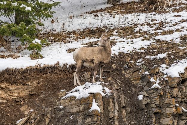 雪に覆われた岩山の丘の中腹のバンフ国立公園に立っている若いオオツノヒツジ