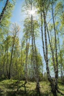 青空に若い白樺の木、春の風景、太陽が輝く