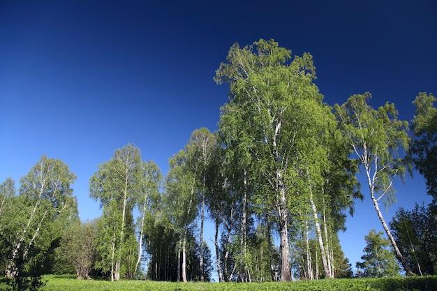 青い空、春の風景を背景に若い白樺の木