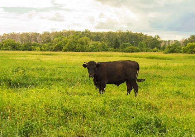 緑の牧草地、雷雨、田園風景、牛繁殖概念の前に夏に放牧若い黒牛