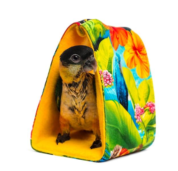 Молодой черношапочный попугай (10 недель), стоящий в сумке, изолированные на белом