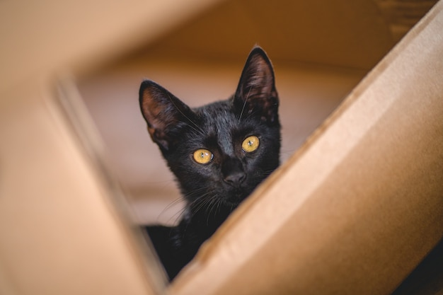 若い黒猫が段ボール箱の中に隠れながらカメラを見る
