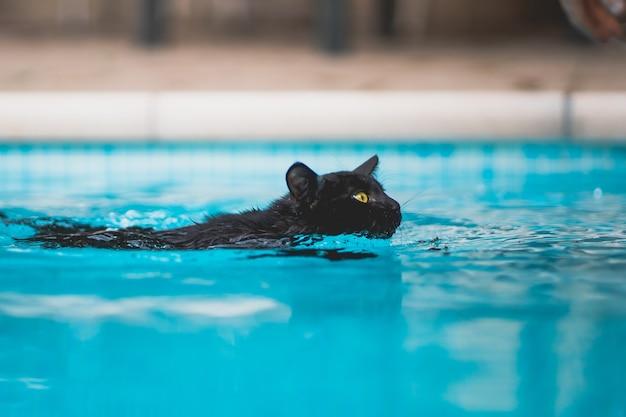 透き通った水プールで泳ぐ若い黒猫