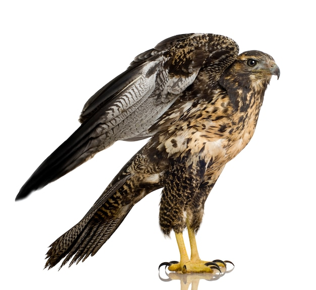 Young black-chested buzzard-eagle- geranoaetus melanoleucus in front on a white isolated