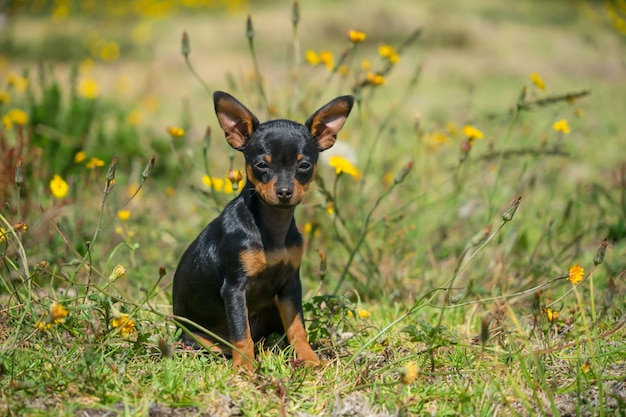 A young black chihuahua sitting in the grass.