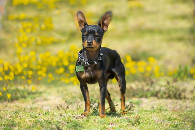 A young black chihuahua standing on the grass